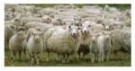 2013.07.08—humor-sheep